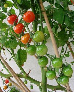 Aprende a tutorar las tomateras...