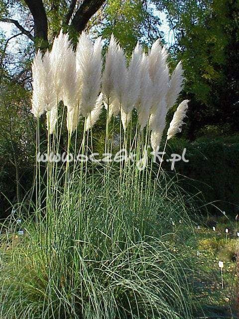 Trawa pampasowa biała Cortaderia selloana White Trawa pampasowa White - Cortaderia selloana White