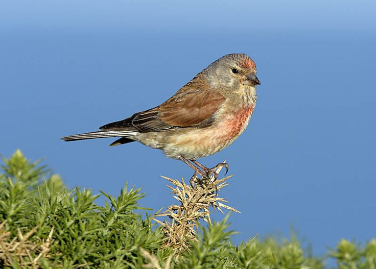 Linnet - Linaria cannabina Copyright Paul Sterry/Nature Photographers Ltd