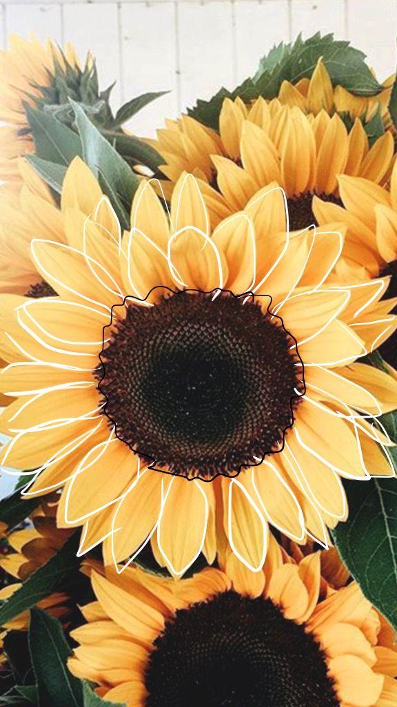 𝚙𝚒𝚗𝚝𝚎𝚛𝚎𝚜𝚝 𝚔𝚊𝚕𝚎𝚢𝚑𝚘𝚐𝚐𝚕𝚎 ☆ Sunflower wallpaper