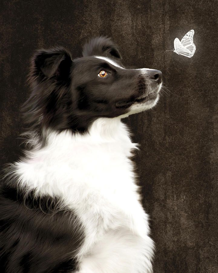 Border Collie Dog Watching Butterfly - Looks just like Ben Chato boy!!!! :)