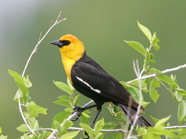 Yellow Headed Blackbird yellow headed blackbir...