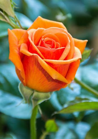 342 Best Orange Roses Images On Pinterest Beautiful