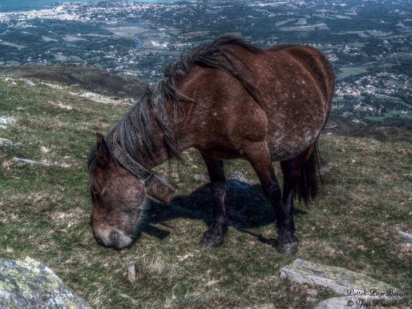 Pottok au sommet de la Rhune - Pays Basque © Yves Roussel