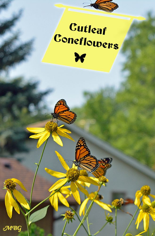 Best Butterfly Plants For Gardens  The Cutleaf Coneflower (Rudbeckia  Laciniata) Is A Giant