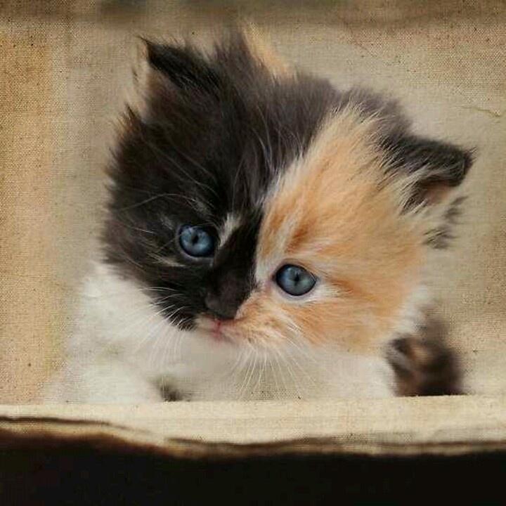 Kittens black calico