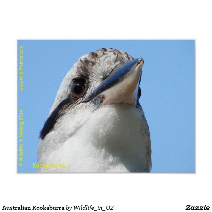 Australian Kookaburra Poster - Click on photo to view item then click on item to see how to purchase that item. #kookaburra #poster #wildlife #australianwildlife #zazzle