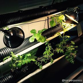 Cheap grow light idea. Get a warm and a cool 100 watt equivalent CFL bulbs. I got those clamp on light housings at Home Depot for $5 a piece. I'm growing 3 tomato plants 2 eggplant plants and 1 bush bean plant in my garage with only a couple light bulbs!