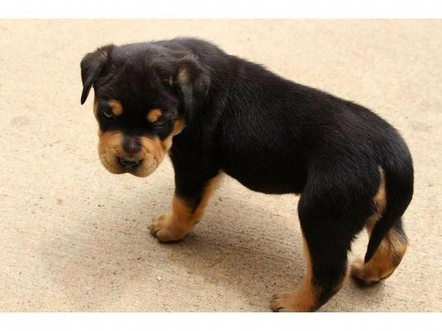Top Quality Rottweiler Puppies Rottweilerpuppy Rottweiler