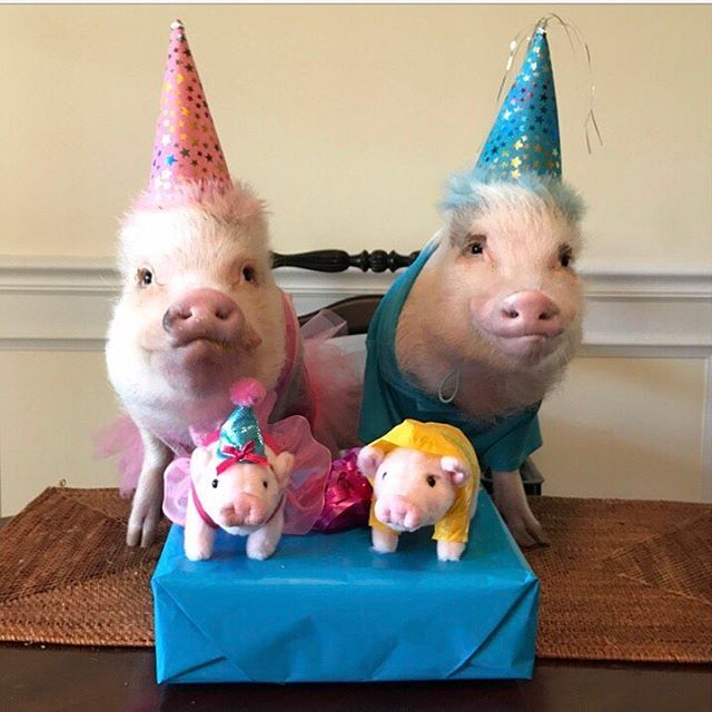 prissy_pig HAPPY BIRTHDAY GRANDMA!!! SURPRISE!!🐷🎉Pop and I can't wait for you to be the first one to receive the new mini plush Birthday Prissy and Raincoat Pop from @gottagettagund. (Both will be available later this month on GUND.com). We hope you love them and have the best birthday ever! Love you to the Cheerio Castle and back!🐷🎂🎈#HappyBdayGrandma #BirthdayGirl #GottaGettaGund #GUND #GottaGettaPrissyandPop #PrissyandPop  2017/01/19 00:35:25