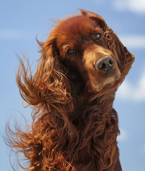 Irish Setter with feathers blowing in the wind.