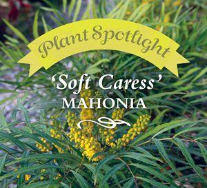 Spotlight Plant: 'Soft Caress' Mahonia