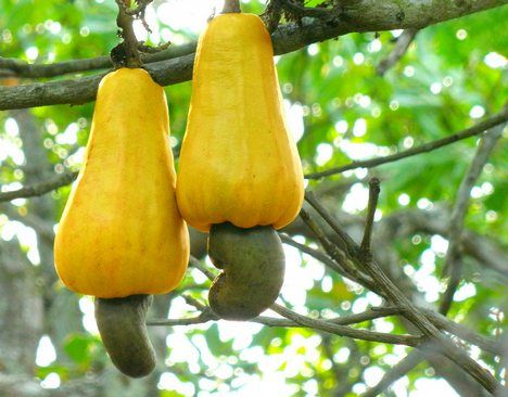 Cashews fruit on the tree. The fruit is edible but is wasted just so we can enjoy the small nut.