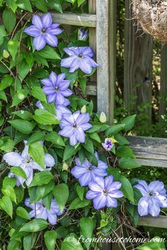 Good info on fertilizing! How To Grow Clematis With Big Beautiful Blooms | If you are looking for ideas on how to prune, grow and care for Clematis to get those big purple, blue and pink blooms in your garden, this guide will definitely help! It even includes a list of the best varieties to grow.