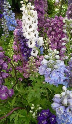 The tall spikes of Larkspur in soft country shades of pink, purple, blue and white..