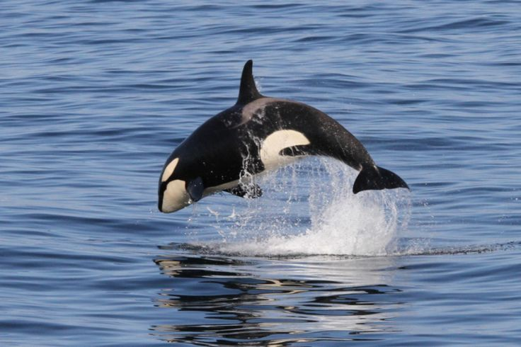 Killer whale watching in the Lofoten, Norway. Whale guarantee.
