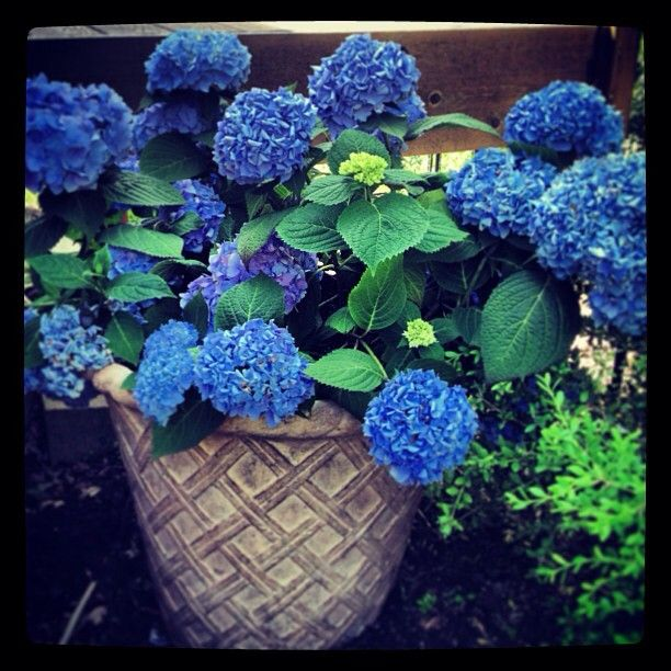 Best 25 endless summer hydrangea ideas on pinterest pruning hydrangeas hydrangea care and - Care potted hydrangea ...