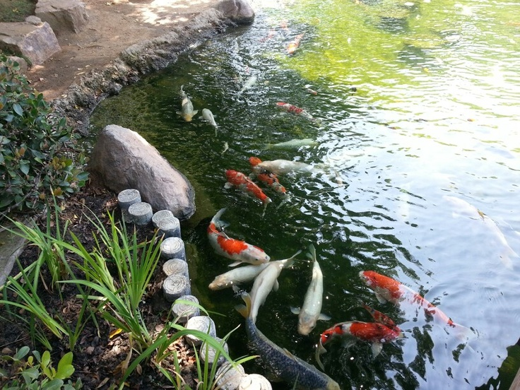 1000 images about go beach csulb on pinterest for Koi fish pond csulb