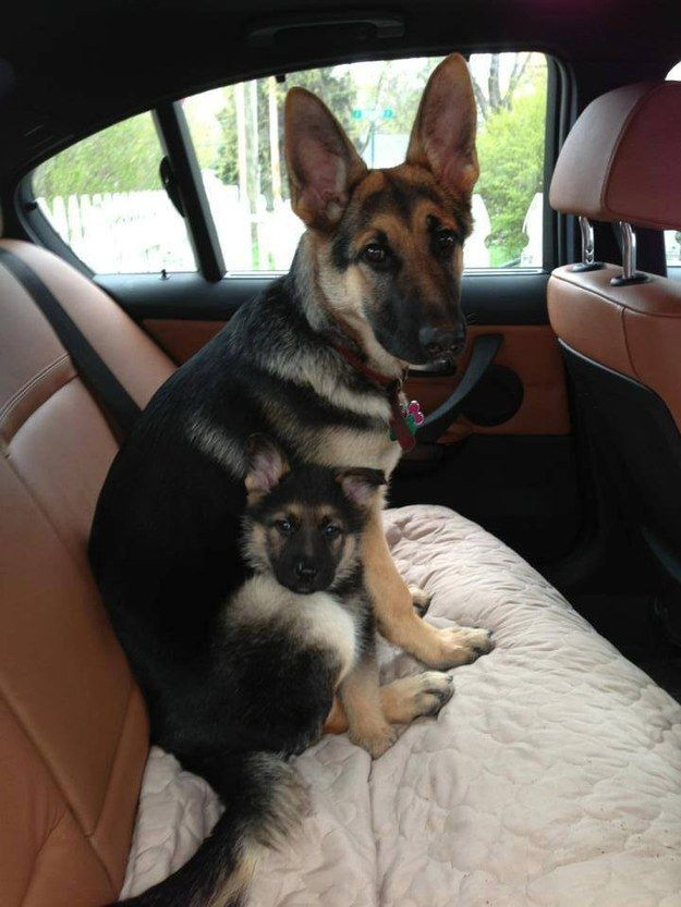 #German #shepherds. Mom is comforting her baby during his first car ride.