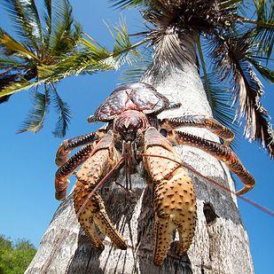 Coconut Crab #Guam #animals