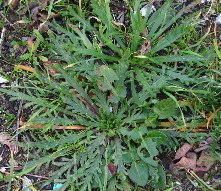 Plantago coronopus (erba stella,barba ed prit,corno di cervo, erva stidda) Usi in cucina. Cruda, se giovane, in insalata, cotta per minestroni e ripieni di torte salate, sempre nel misto.