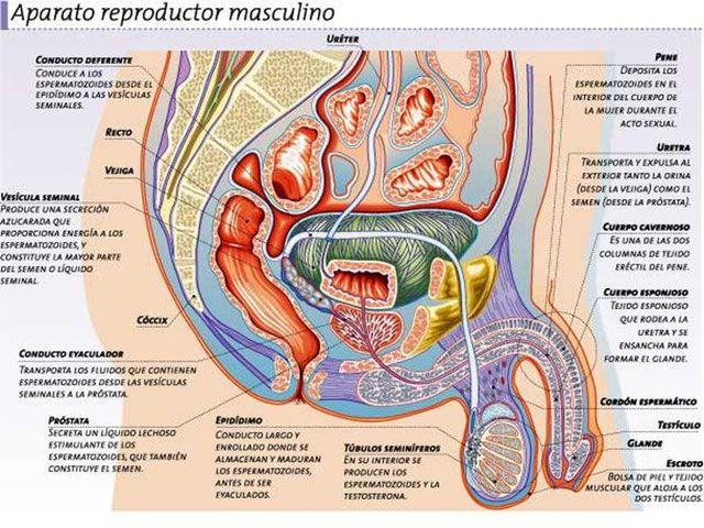 Mejores 8 imágenes de Sistema Reproductor Masculino en Pinterest ...