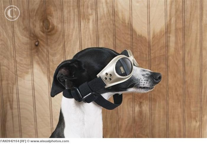 I wear my sunglasses at night....Sight Hound, Dogs Stuff, Animal Awwww, Wear Goggles, Image, Funny Stuff, Animal Wear, Dogs Clothing, Italian Greyhounds