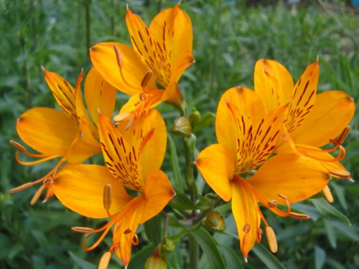 """Alstroemeria aurea - Golden Lily of the Incas, Peruvian Lily → Plant characteristics and more photos at: http://worldoffloweringplants.com/?p=576  """"Keep love in your heart. A life without it is like a sunless garden when the flowers are dead."""" - Oscar Wilde"""