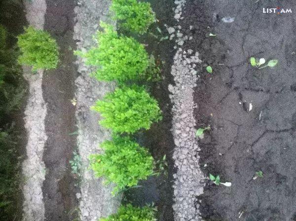 Dekorativ carner - Животные и растения › Растения › Уличные растения - List.am