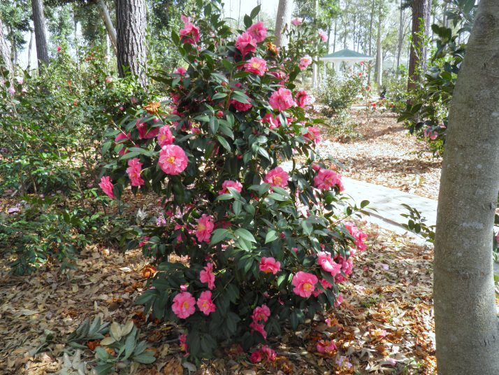 27 best Camellia plants images on Pinterest | Backyard ...