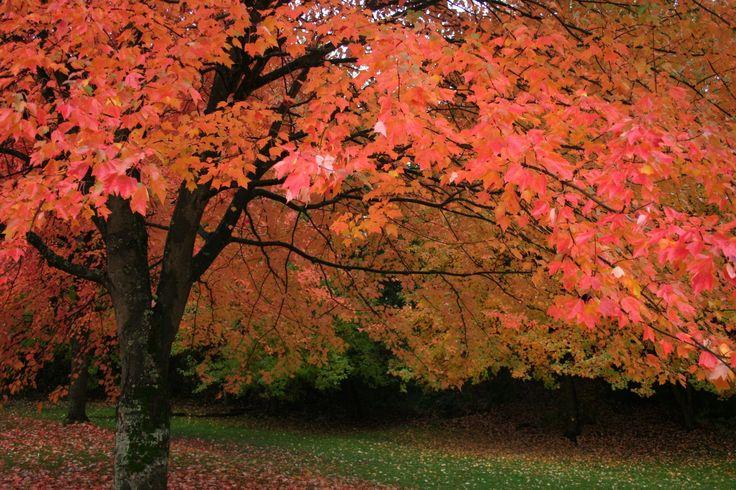 Vancouver tree