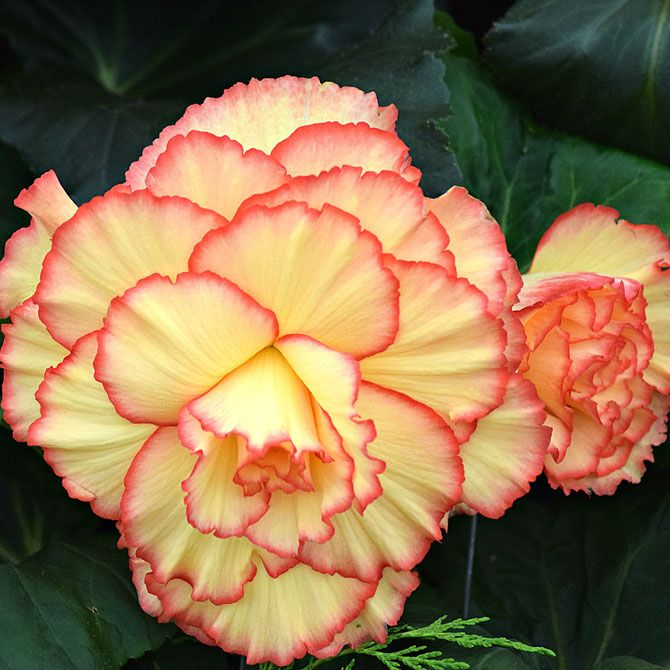 Begonia Floriferous Garden Find Your Horticultural Society And Learn Everything About Flowers And Gardening Begonia Plants Planting Flowers