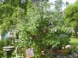 Butterfly Bush in Bird Garden