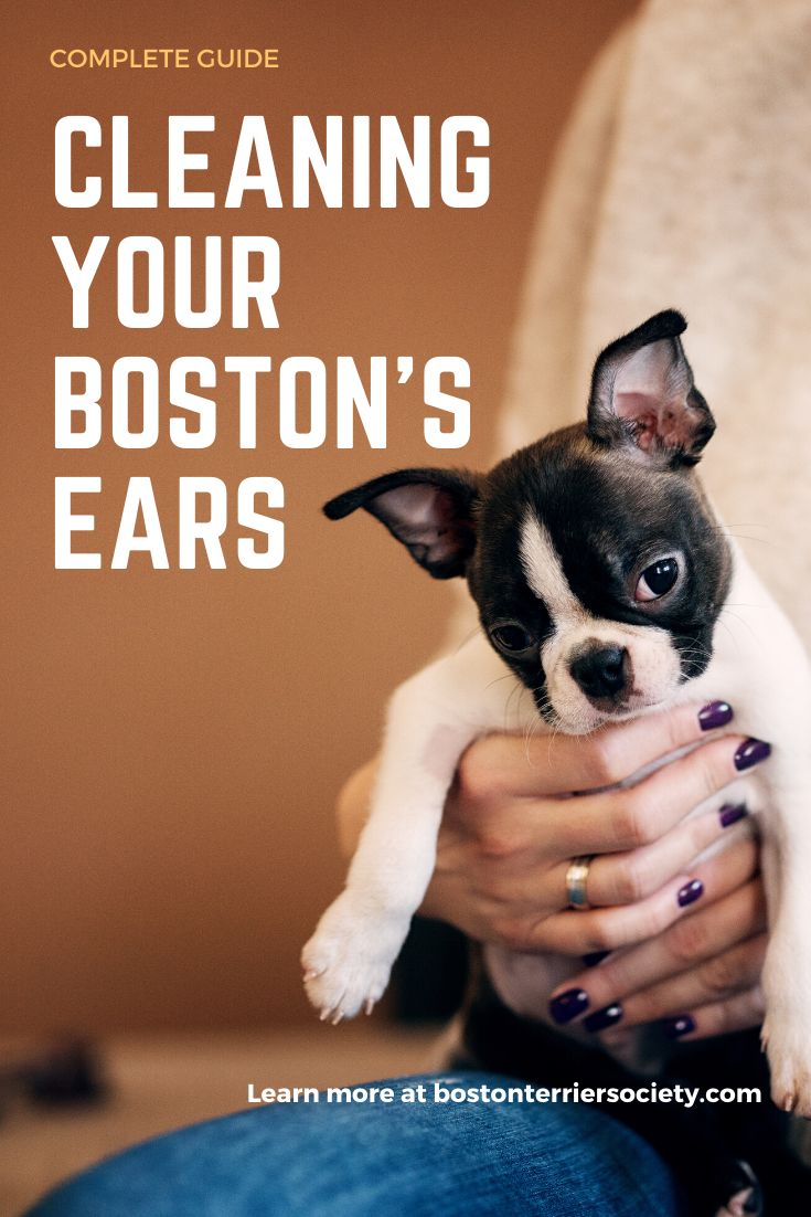 Guide how to properly clean a boston terriers ears