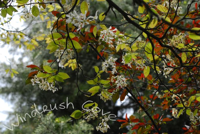 Dazzling Saskatoon - Fine Art Nature Print - Photography - 8x10 by Windrush Cove, $30.00 USD