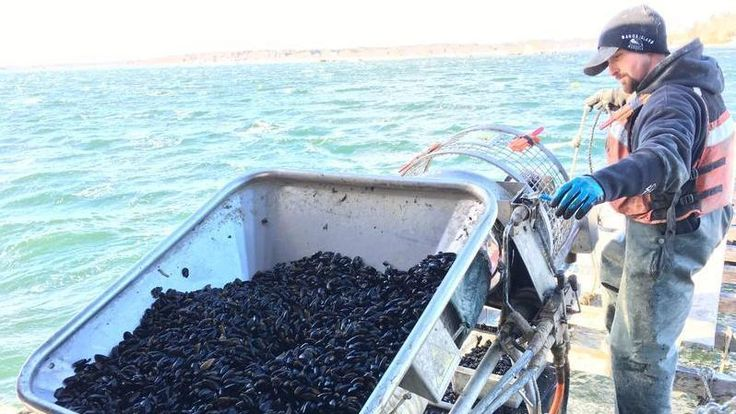 NPR News: Shellfish Industry Scientists Wrestle With Potentially Deadly Toxic Algae Bloom  #business #radio #music #broadcasting