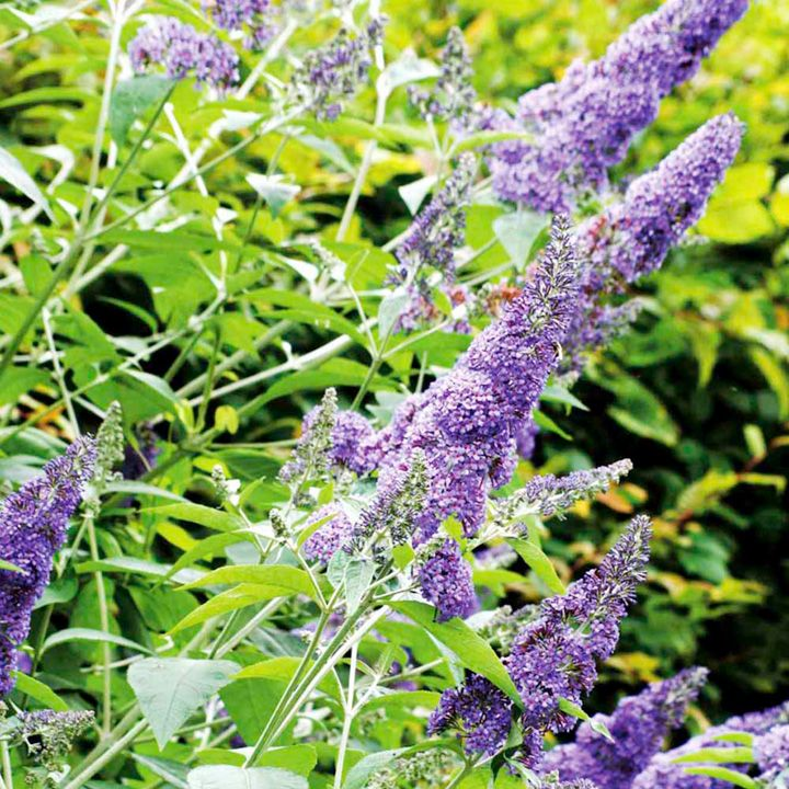 Buddleia Plant - davidii Lochinch - Trees and Shrubs - Gardening - Suttons Seeds and Plants