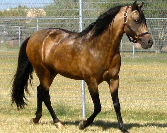 Красивая лошадь породы Мангаларга Маршадор, фото | Буланая ...