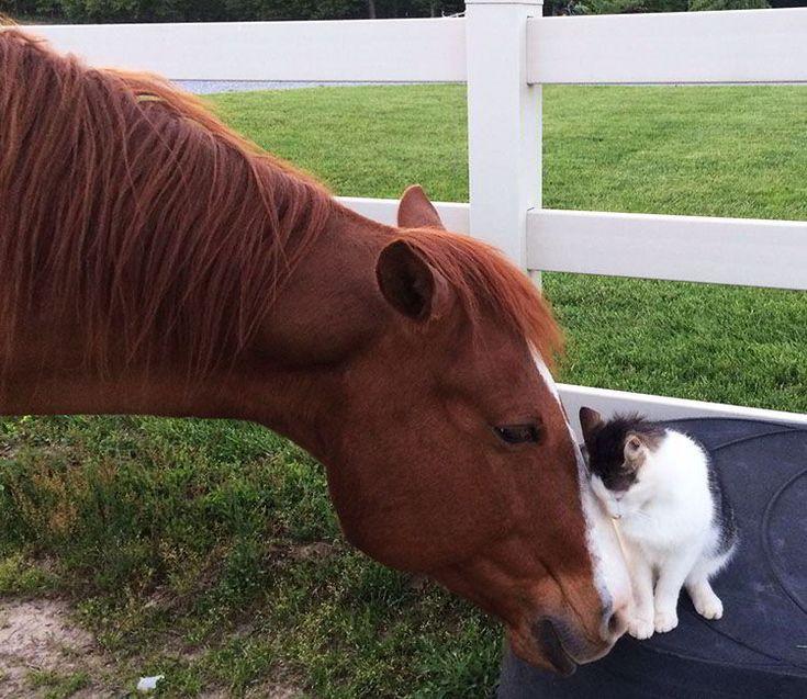 Gato que ama a un caballo desde que era pequeñito! (Video) Snappy y Dakota son un duo inseparable! Duermen juntos, se dan besitos y se refrotan el uno contra el otro, todo el día, para demostrar que se quieren. Lo único peculiar de ellos es que no son amigos de la misma especie. Ellos son un …