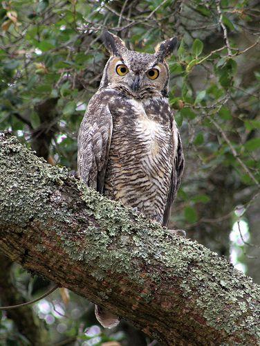 Great Horned Owl - Bubo virginianus   by sfbaywildlife