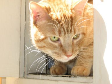 Should I get an adult cat or kitten for my first cat?: Adult Cat