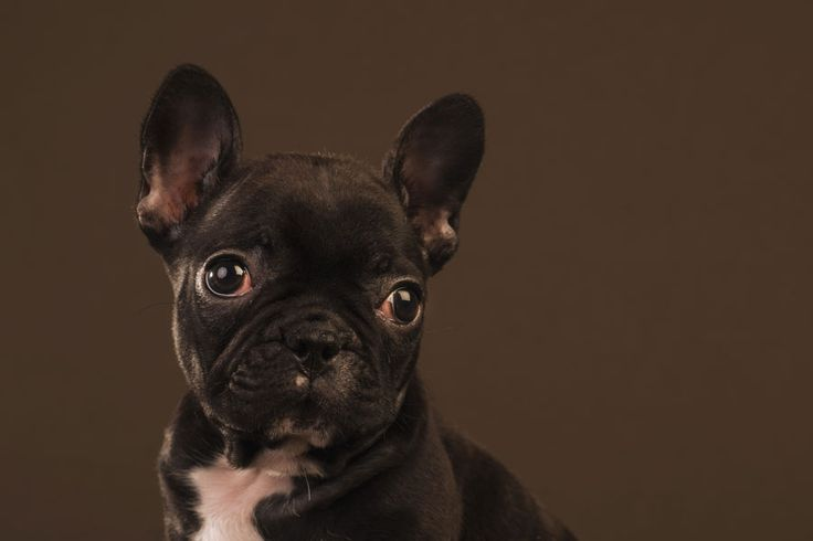 Fotografía de mascotas de un cachorro de Bulldog Francés. Fotografía de Mira al pajarito