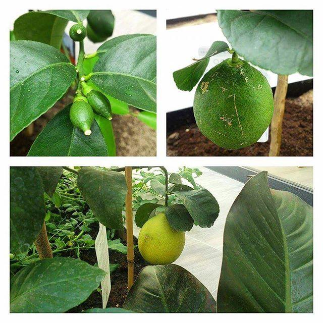 My own lemon 🍋  Moja własna cytryna 🍋  Lemon tree  ____________________________________ #lemon #cytryna #plantbased #plants #garden #domowa #food #foodporn #eat #eatclean #cleaneating #concretus #lemontree #cytrynowa #drzewko #drzewocytrynowe #foodgasm #gloobyfood #wmoimogrodzie #zdrowo #zdrowejedzenie #zrobtosam #feedfeed #foodsteez #healthyfood #vzcomade #vscocook #lovefood #liketocookit