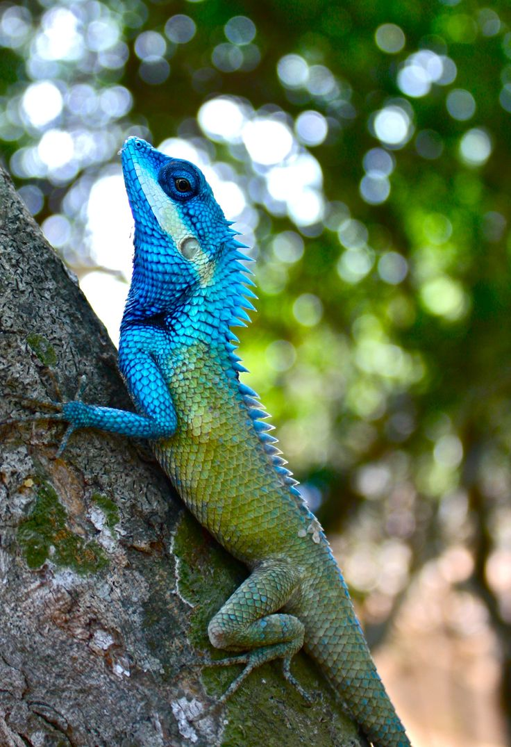 forest dragon lizards, Calotes bachae.                                                                                                                                                     More