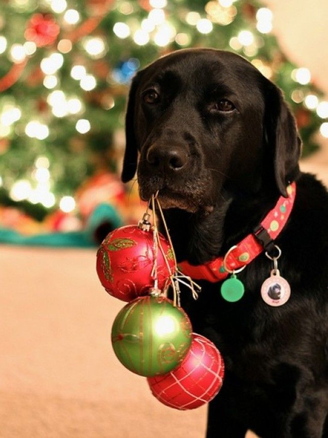20 Christmas Cards Ideas for Your Pets via Brit + Co.