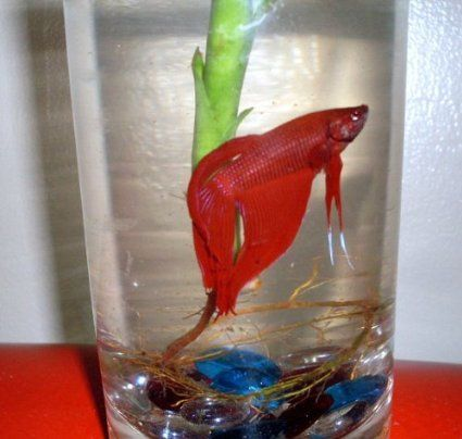 1000 images about betta fish on pinterest for Fish bowl amazon