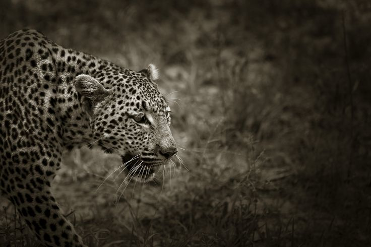 Leopard showing her beauty for a brief moment before moving into thick bush. black and white wildlife photography