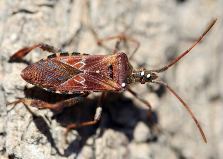 Western Conifer Seed Bug - School IPM - USU Extension