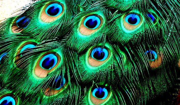 peacock frock: Bold Feathers, Favorite Things, Awesome Pictures, Wedding Bouquets, Things Peacocks, Feathers Closeup, Peacocks Color, Peacocks Feathers, Beautiful Things