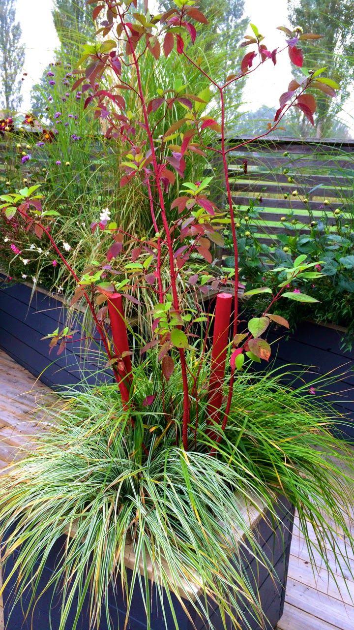 Cornus Alba 'Sibirica' Garden Design: Eira Fogelberg